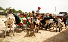 #goatvet likes this game played by 4-H students in USA- musical chairs played while leading goats