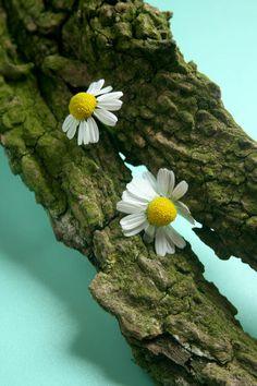 'Daisies' von Heidrun Lutz bei artflakes.com als Poster oder Kunstdruck $18.03
