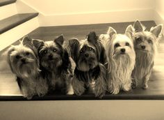 #yorkie #dogs