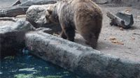 UnReal ... Compassionate Bear Saves a Bird from Drowning ... GiF