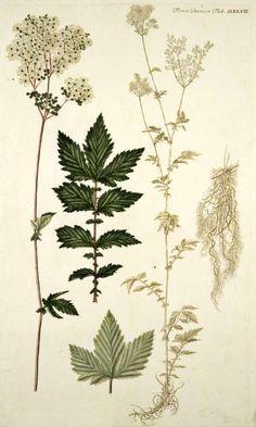 Angervaks. Meadowsweet. Filipendula ulmaria (L.) Maxim. [as Spiraea ulmaria L.] Oeder, G.C., Flora Danica, Hft 10, t. 547 (1761-1883)