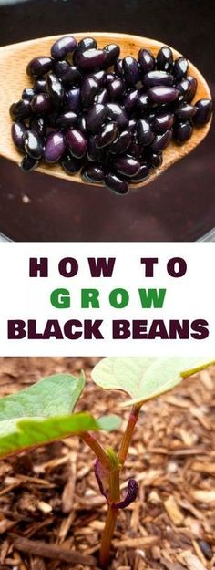 How to grow black bean plants from seeds in your vegetable garden. Looking for a new plant to grow in your garden this year? Try growing black beans! They're easy to grow, produce a good yield and store great for recipes! #howtourbangarden