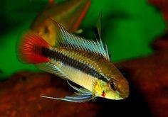 Saltwater Aquarium Fish, Tropical Fish Aquarium, Freshwater Aquarium Fish, Planted Aquarium, South American Cichlids, Cool Fish Tanks, Red Fish Blue Fish, Fishing World, Pet Fish