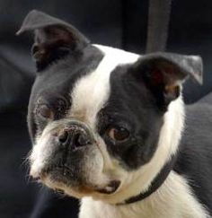 Trickster is an adoptable Boston Terrier Dog who is living at the New Haven Animal Shelter. He is aptly named because he can get into trouble. He's 3 years old and full of beans!