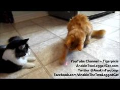 ▶ Laser Fun With, Anakin The Two Legged Cat, Mika & The Gang - YouTube