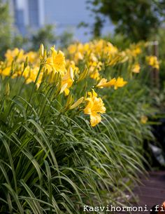 Keltaiset päivänliljat hehkuvat - Kasvihormoni