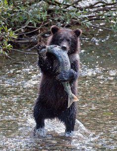 """A grizzly bear cub, less than one year old, appears to wave as it catches and… Animals And Pets, Baby Animals, Funny Animals, Cute Animals, Nature Animals, Wild Animals, Amazing Animals, Animals Beautiful, Black Bear"