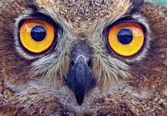 Free Image on Pixabay - Owl, Eyes, Stare, Bird, Feather Owl Pictures, Pictures To Draw, Free Pictures, Free Images, Wildlife Wallpaper, Owl Eyes, Train Your Brain, Owl Bird, Art Classroom