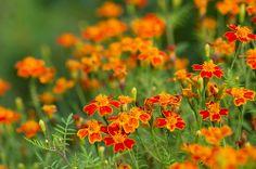 Tagetes tenuifolia 'Paprika'