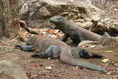 Rinca Komodo Dragons by Nutch Bicer, via Flickr