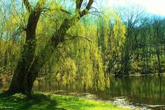 Pic of the Day...  Weeping Willow at Blue Mountain Reservation by Colin Smith  #hudsonvalley #bedandbreakfast #bnb #realbnbhv #top25bnb_usa