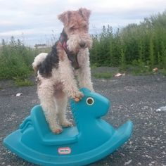 dave the wire hair fox terrier