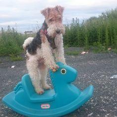 dave the wire hair fox terrier