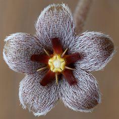 Stapelia erectiflora; by daphne7700