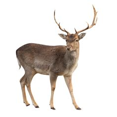 Amazing photo gallery about deer. Buck Deer in White Background. Animal Cutouts, Autocad, Buck Deer, Browning Deer, Animal Wall Decals, Pokemon, Magical Forest, Animals Images, Photoshop Elements