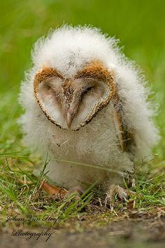 Barn Owl chick by Johan van Hoof