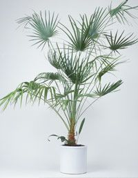 Recommended Indoor House Plants at WomansDay.com - Common Houseplants - Woman's Day Areca Palm