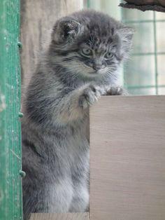 7-week old Pallas cat kitten at UK's Wildlife Heritage Foundation