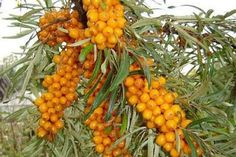 Sea buckthorn is a perennial shrub. It is hardy in zones 3 to The plant prefers light, sandy soil. Sea buckthorn will grow best in full sun, as it needs a lot of energy to produce a large crop of berries. It cannot tolerate shade at any stage of growth. Pitaya, Sea Berries, Berry Plants, Permaculture Design, Permaculture Garden, Forest Garden, Exotic Fruit, Plant Sale, Edible Garden