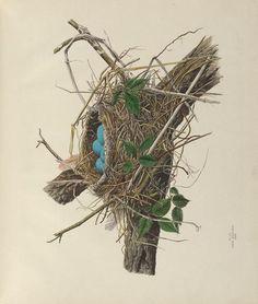 v. 1 - Illustrations of the nests and eggs of birds of Ohio : - Biodiversity Heritage Library/Genevieve Jones