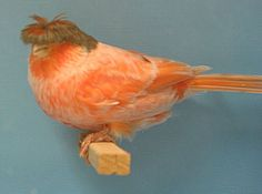 Got any mousse?  ......Crested Red Factor Stafford Canary- Carrots will bring out the Red Factor more pronounced.