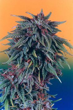 Purple Kush ~ Bud