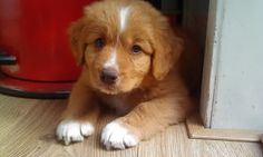 Nova Scotia Duck Tolling Retrievers Dogs