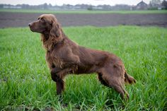 GERMAN LONG-HAIRED POINTER Follow THIS PERSON THEY HAVE ALOT OF DOG BREEDS  @kazuyaShigematsu