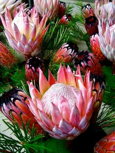 King and queen protea Flor Protea, Protea Art, Protea Bouquet, Protea Flower, Cactus Flower, Tropical Flowers, Hawaiian Flowers, Exotic Flowers, Beautiful Flowers
