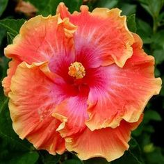 Exotic Hibiscus 'Prosperity'   Ordered for 2014