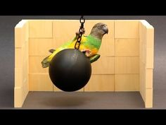 Kili Cyrus Wrecking Ball Parroty! - We Heart Parrots