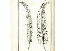 1797 Fougère Asplénium Gravure Originale Eléments Botanique Tournefort Dessin Aubriet Anatomie Structure Fleur Physiologie Végétale de la boutique sofrenchvintage sur Etsy