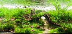 Java Narrow Ferns, tennelus, hairgrass, fissidens fontanalus, weeping moss, xmas moss, HC, Crypts, Anubias, Bolbitus, Hydrocoytl SP Japan, Myriophyllum mattogrossense, cyperus helfieri    2012 AGA Aquascaping Contest