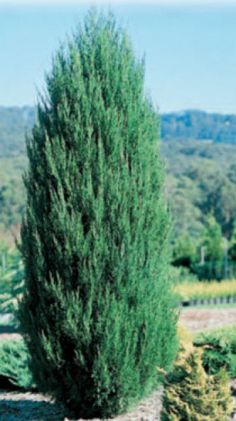 Juniperus Spartan