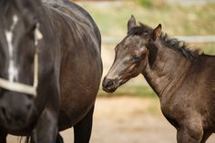 Young foal with its mother Horse Couple, Horses, Couples, Animals, Animales, Animaux, Couple, Animal, Animais