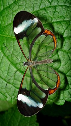 Glasswing butterfly Cool Insects, Madame Butterfly, Beautiful Butterflies, Beautiful Bugs, Beautiful Creatures, Animals Beautiful, Animals And Pets, Cute Animals, Falter