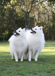 Caring for your Japanese Spitz - Shanspitz Japanese Spitz Unusual Animals, Cute Animals, Japanese Spitz Puppy, Pet Dogs, Dogs And Puppies, Spitz Breeds, Unique Dog Breeds, Cute Pomeranian, American Eskimo Dog