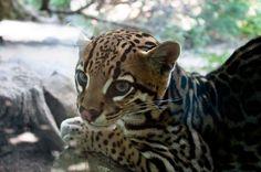 dwarf leopard