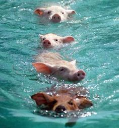 Haha maybe I will see this when I go to the bahamas. Exuma Bahamas, where pigs swim up to your boat! I don't know what to say about this other than, I'll be impressed when pig fly. Animals And Pets, Baby Animals, Funny Animals, Cute Animals, Wild Animals, Beautiful Creatures, Animals Beautiful, Exuma Bahamas, Bahamas Pigs