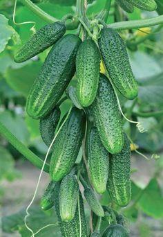 Выращиваем огурцы — интересные сорта любимой культуры