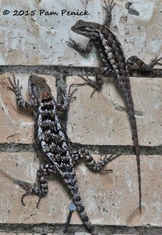 Green Lizard Anole Charlie Banks Don T See Many