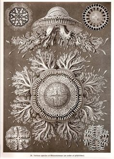 Ernst Haeckel 1974 Art Print Beautiful Frameable Vintage Book PLATE 27 28 Cydippida Jellyfish and Rhizostomeae and order of Jellyfishes