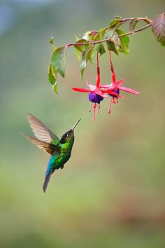 Humans have been hypnotized by hummingbirds ever since we arrived in the New World. Here are 15 fun facts about the fascinating birds. Bee Hummingbird, Hummingbird Pictures, Hummingbird Painting, Ruby Throated Hummingbird, Colorful Hummingbird Tattoo, Hummingbird Wallpaper, Hummingbird Colors, Photos Colibri, Images Colibri