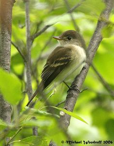 Willow Flycatchers seen on Kiwa trail Ridgefield NWR