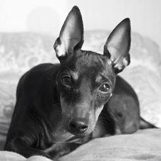 Youkie  #AnayaPhotography #EnglishToyTerrier #Dog