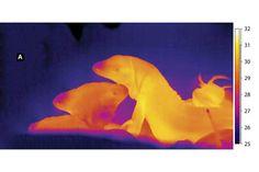 No período do acasalamento, a temperatura do corpo dos animais permanece elevada, vários graus acima da temperatura da toca (imagem:lagartos teiú em infravermelho/Divulgação)