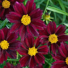 Mercury Rising coreopsis- truly exceptional red: cold-hardy, color-fast, and vigorous