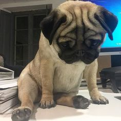 But what do you mean it's only Wednesday? Photo by @uchini_the_pug Want to be featured on our Instagram? Tag your photos with #thepugdiary for your chance to be featured.
