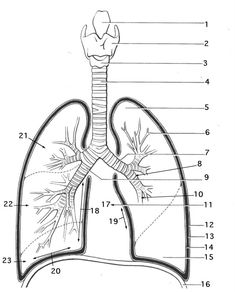 Respiratory System Coloring Sheets respiratory system coloring page coloring trend medium size Respiratory System Coloring Sheets. Here is Respiratory System Coloring Sheets for you. Respiratory System Coloring Sheets stomach coloring page at ge. Coloring Pages For Grown Ups, Coloring For Kids, Free Adult Coloring Pages, Lung Anatomy, Medical Anatomy, Skull Anatomy, Heart Anatomy, Human Body Unit, Human Body Systems