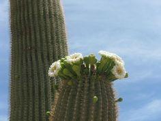 saguaro 's crown